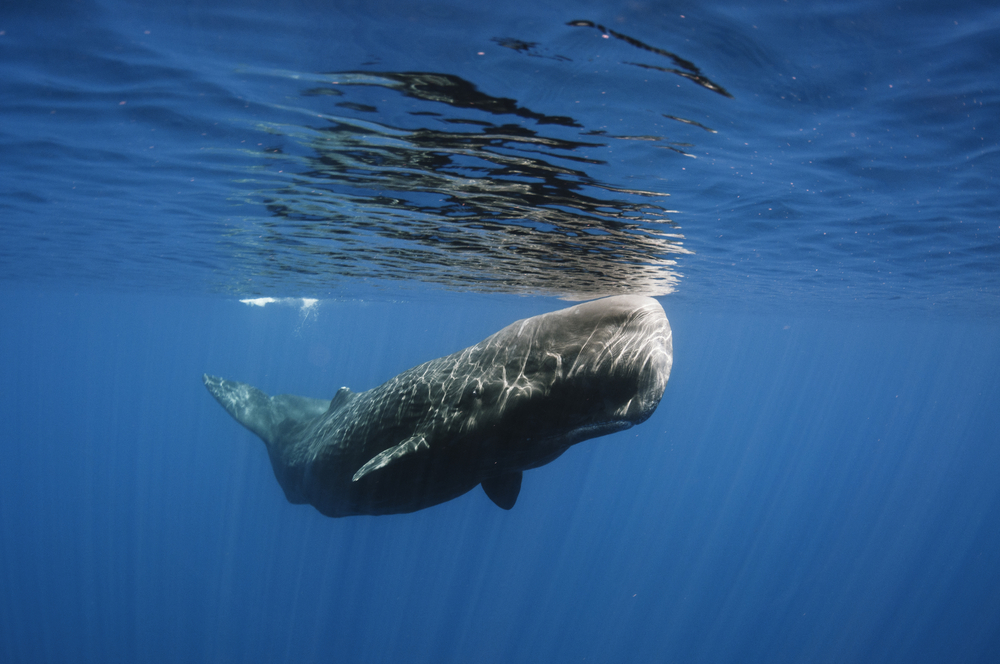 Do Sperm Whales Use Their Heads as Battering Rams?