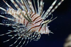 A lionfish. Credit: benpopik/Flickr, CC BY 2.0