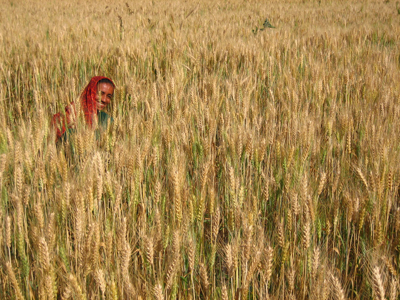 File photo of a wheat farm in Gujarat. Credit: Meena Kadri/Flickr CC BY 2.0