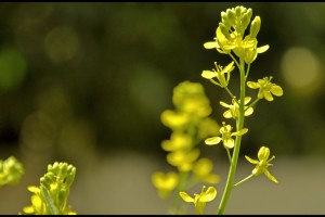 A mustard flower. Credit: prince_tigereye/Flickr, CC BY 2.0