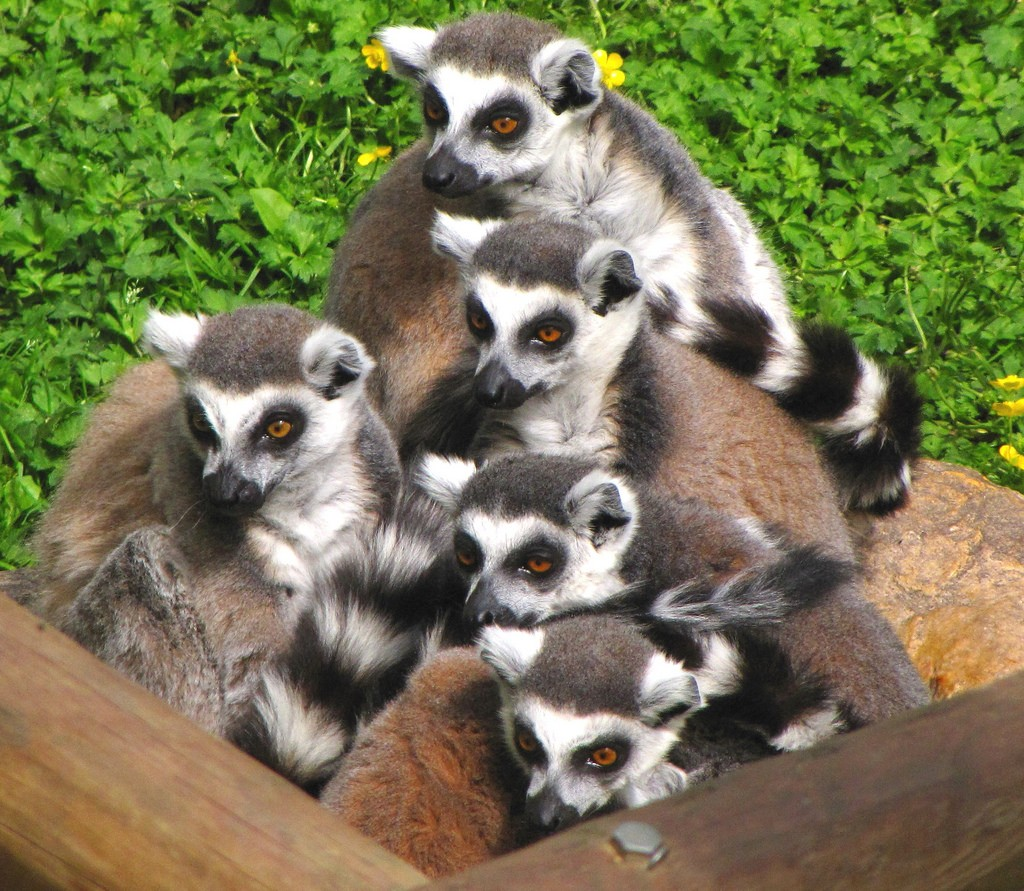 Lemurs Lost and Found: New Species Discovered but the Primates Face Extinction