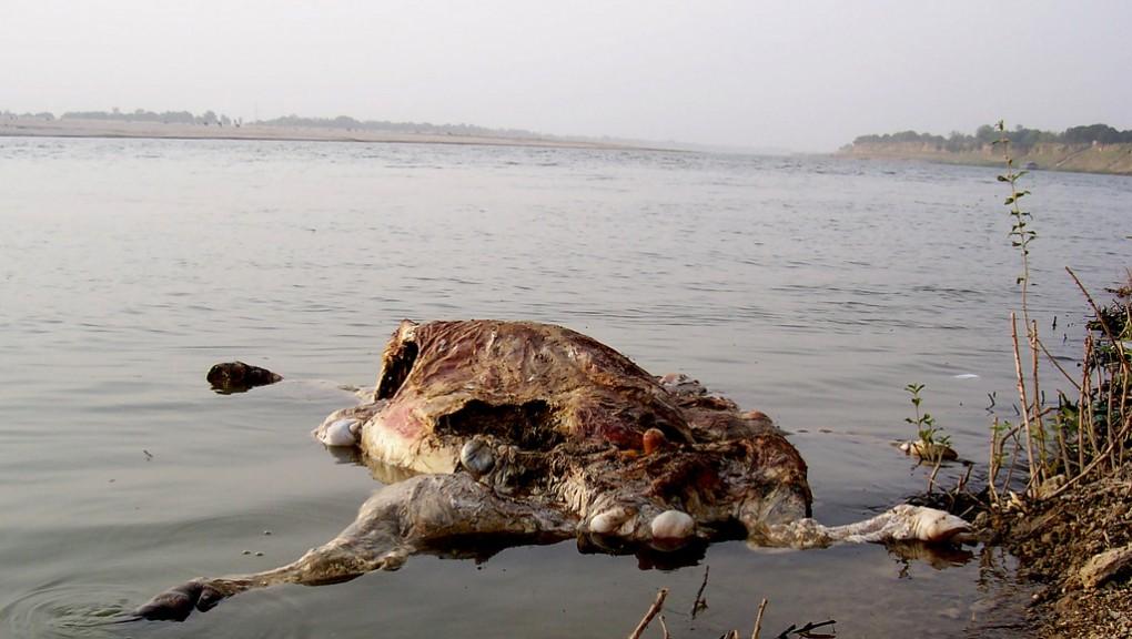 Carcasses in the Ganga