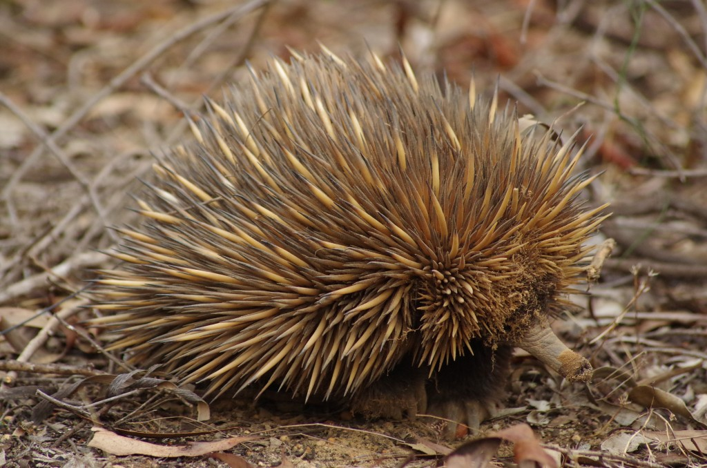 How do Echidnas Survive Wildfires?
