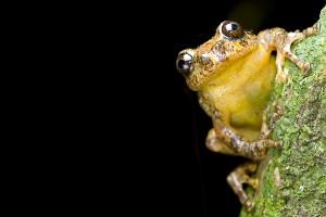 The tree hole breeding frog. Credit: S.D. Biju
