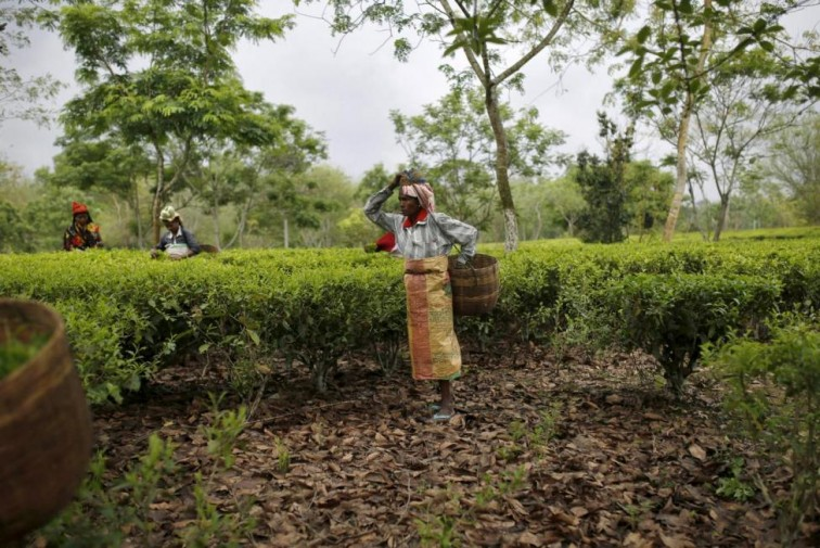 Politicians Want Their Votes, But Provide no Relief for Assam's Tea Garden Workers