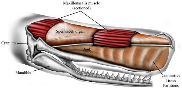 Schematic representation of sperm whale head structure. Credit: Ali Nabavizadeh