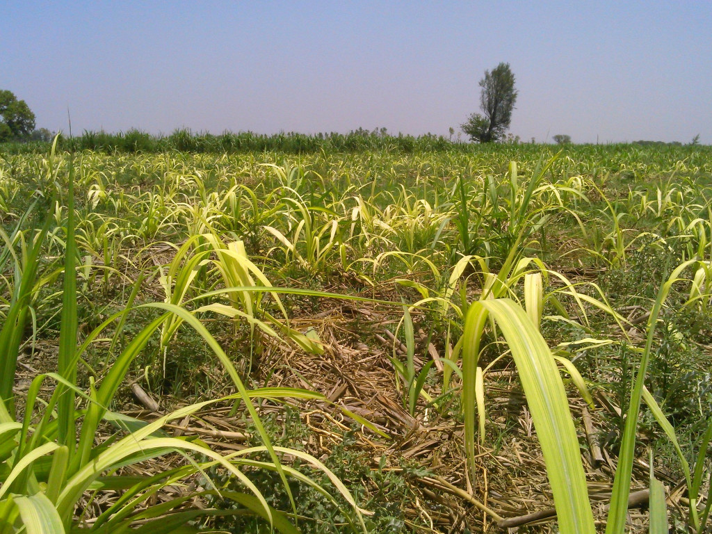 An Agro-Ecological Way Through the Sugarcane Problem – Before We Quickly Resort to GM Crops