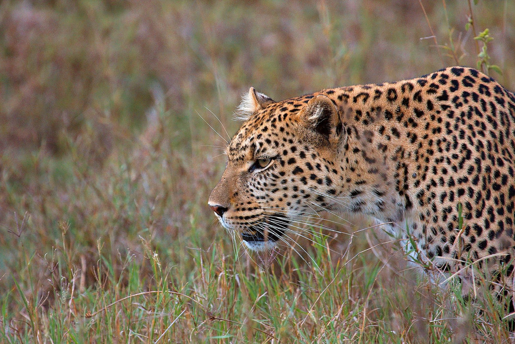 Not Just Tigers, Our Leopards Are in Trouble As Well – and We're Ignoring Them