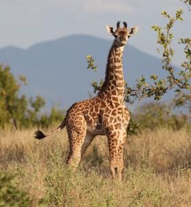 A young Masai giraffe in Ngorongoro Conservation Area, Tanzania. Credit: Doug Cavener