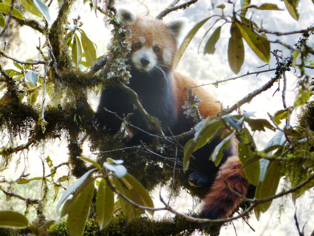 A red panda in a typical western Arunachal Pradesh landscape Credit: Lham Tsering, WWF India/thethirdpole.net