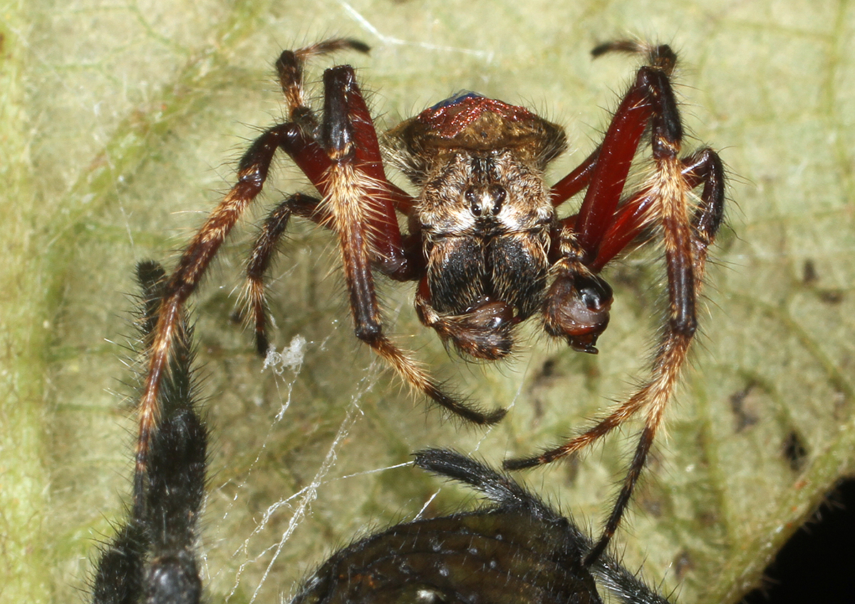 After mating, the male of Darwin's bark spider (Caerostris darwini) chews on his palps. The emasculation presumably renders the eunuch more aggressive, being better at fighting off rival males that might also want to mate with 'his' female. Credit: Research Centre of the Slovenian Academy of Sciences and Arts