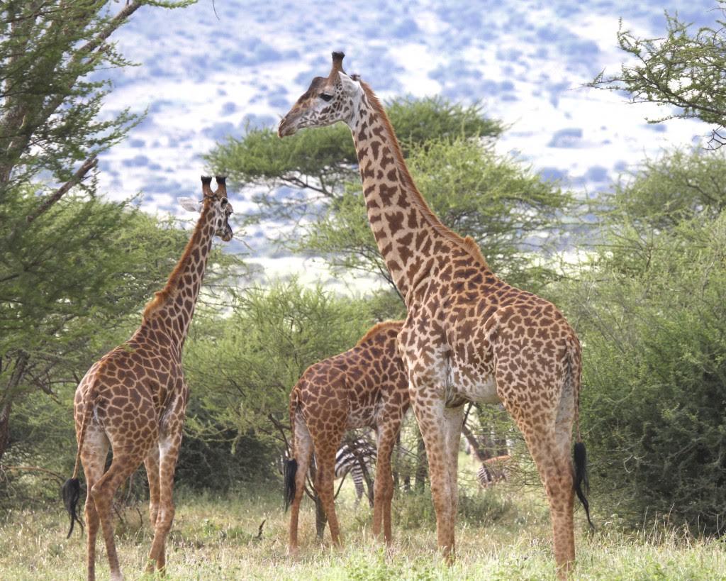 Adult male Masai giraffe in Ndarakwai, West Kilimanjaro, Tanzania. Credit: Doug Cavener