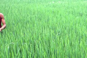 Rice fields in Chengdu, Sichuan.
