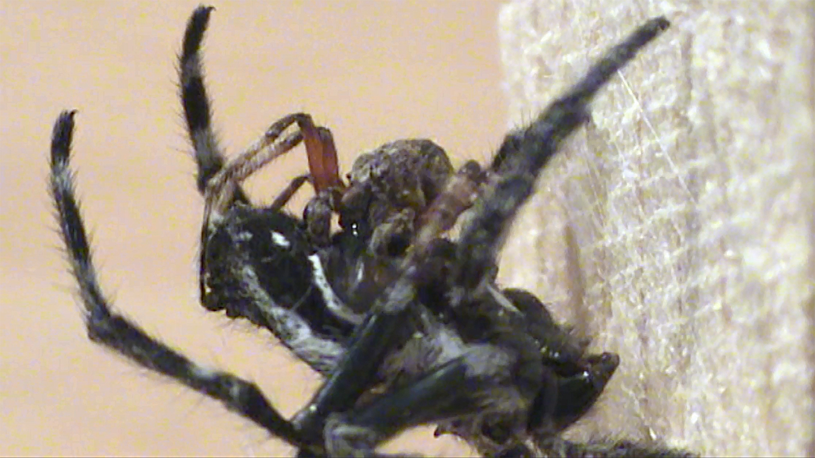 Before, during, and after mating, the male Darwin's bark spider salivates over the female's epigyne, presumably to increase his reproductive success. Credit: Research Centre of the Slovenian Academy of Sciences and Arts