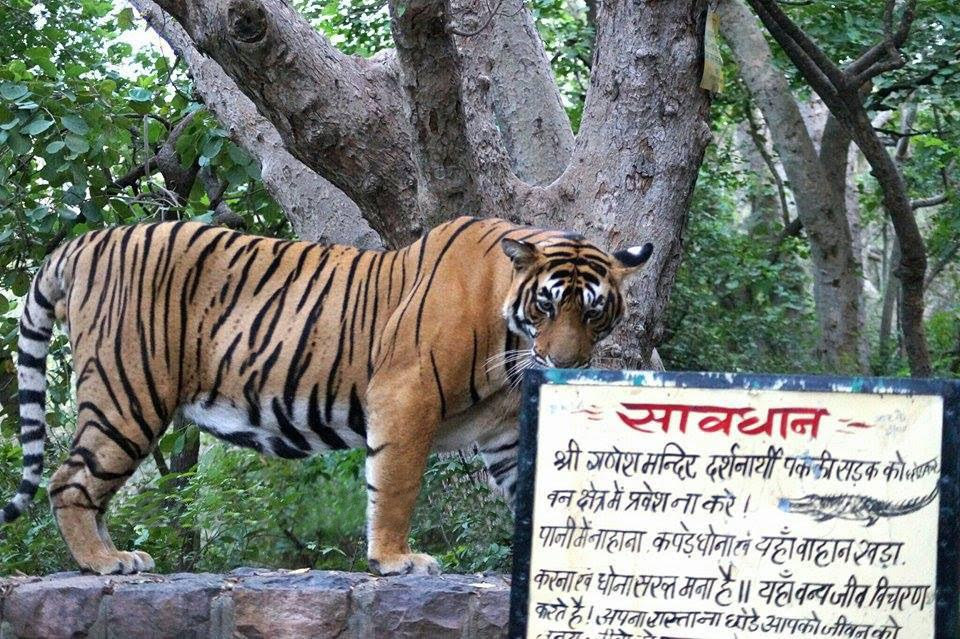 A notice board points to the presence of panthers in Ranthambore Reserve Forest. Source: Rukmini Sekhar