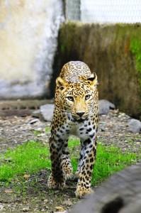 The leopard named Shankar. Credit: Wildlife SOS