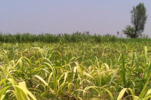 sugarcane cropped