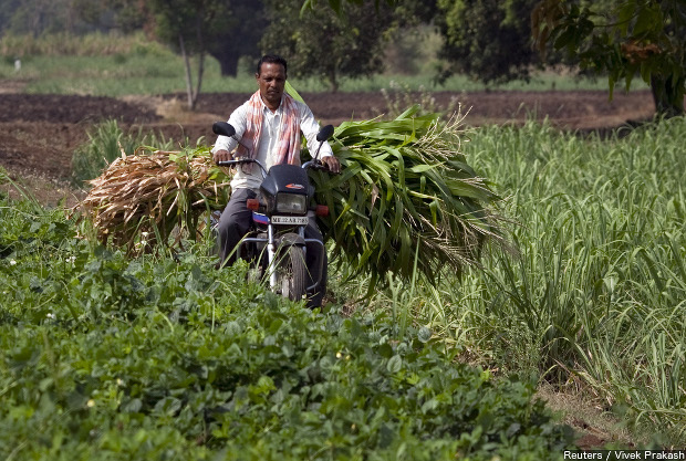 A farmer carries cut sugarcane on his motorcycle through a field outside Gove village in Satara district of Maharashtra. Credit: Reuters