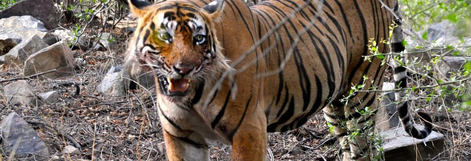 Ustad the Tiger Belongs in the Forest, Not in a Jail