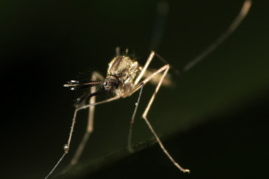 A mosquito. Credit: bsgphotos/Flickr, CC BY 2.0