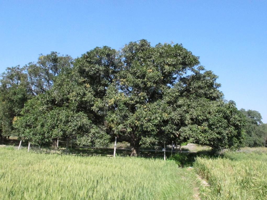 A mango tree in Dashehri village of Kakori block in Lucknow district of Uttar Pradesh. Credit: Sopan Joshi