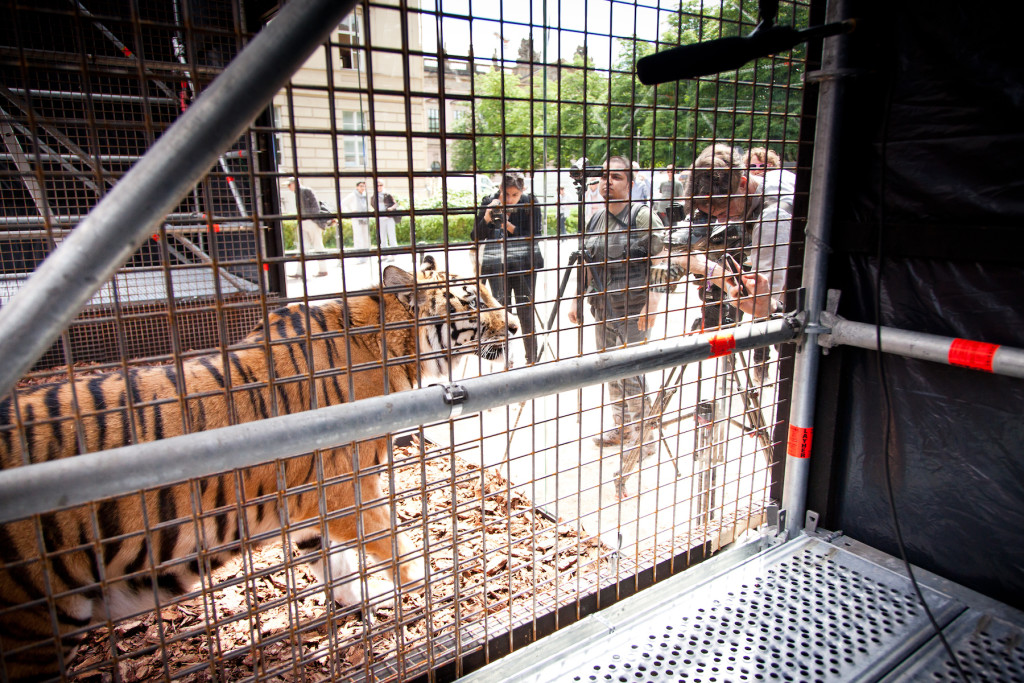 The tigers have been brought from Libya, and have been in the cage from two weeks.