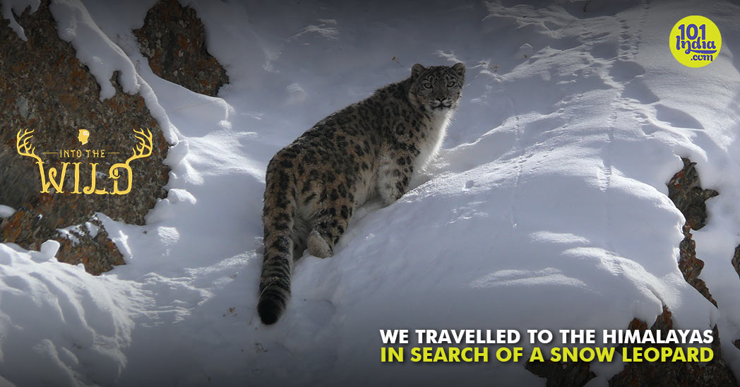 Watch: In Search Of Snow Leopards, The Elusive 'Ghost Of The Mountains'