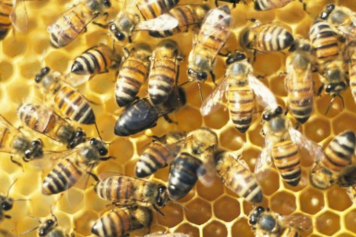 These Honeybees Tell Us Something About the Evolution of Sex