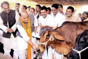 Home Minister Rajnath Singh feeds a cow. Credit: PTI