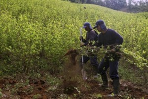 Workers hired by the Colombian government destroy coca plants during an eradication operation at a plantation in Yali, northeastern Antioquia, September 3, 2014. Credit: Reuters/Fredy Builes