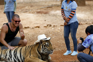 A tourist has his photo taken with a tiger wearing the hat of a volunteer on its head at the Tiger Temple in Kanchanaburi province, Thailand, 24 April 2015. Thai forestry officials together with Wildlife Friends Foundation Thailand were present at the controversial Temple to request a tiger head count by means of chip implant reading, as well as to discuss the whereabouts of three allegedly missing tigers. Of the said 147 tigers, less than half were brought out to have their chips read.  Credit: EPA/Diego Azubel