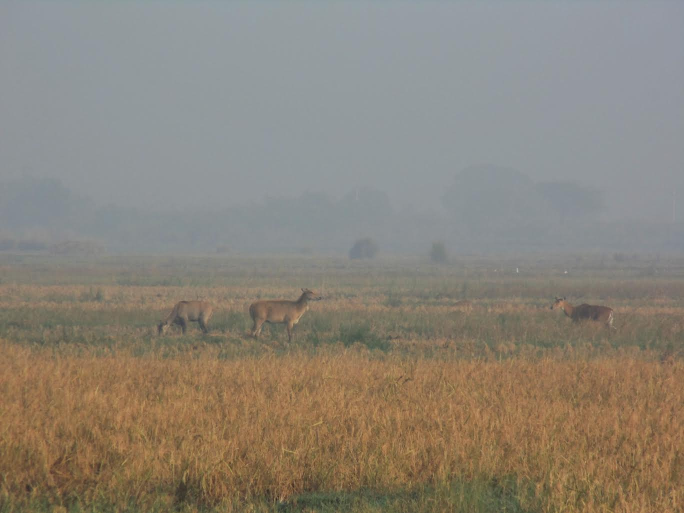 Shooting Nilgai Raises Questions of Ethics, and Efficiency