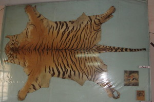 Tiger skins are being sold under codes like dhaariwala chaddar (striped sheet) on e-commerce sites. Credits: Thamizhpparithi Maari/Wikimedia Commons/Mongabay/CC BY-SA 3.0.