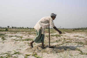 A farmer cultivates in agriculture land that was filled with sand due to the Koshi flood of 2008, that tiggred just near  Koshi Barrage. Sunsari, Nepal