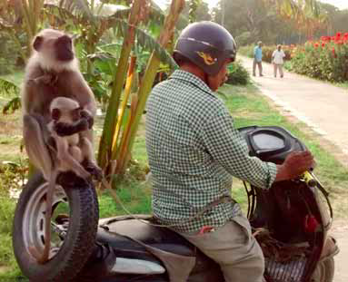 A langur guard goes off duty after scaring away Rhesus Macaque raiders. Credit: Amita Baviskar]
