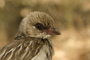 A female greater honeyguide in the Niassa National Reserve, Mozambique. Credit: Claire N. Spottiswoode
