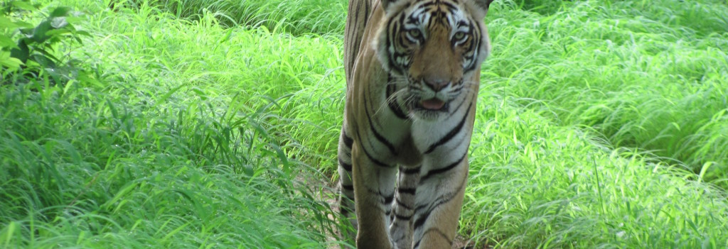 Tiger Conservation: the Woods Are Dark and Deep, We Have Promises to Keep