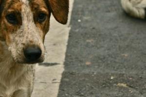 Street Dogs_WikimediaCommons