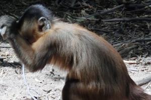 Wild bearded capuchin using stone stool to crack crashew nut in Serra da Capivara National Park in northeast Brazil