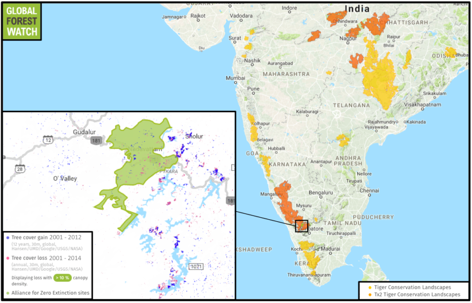 The Alliance for Zero Extinction (AZE) maps the known ranges of endangered, endemic species around the world. Its plot of the distribution of the critically endangered Ghats wart frog shows tree cover loss is still occurring in its habitat. In the Nilgiris overall, data from the University of Maryland indicate the district lost about 1 percent of its remaining tree cover between 2001 and 2014; the range of the Ghats wart frog experienced twice that loss over the same time period. In addition to hosting endemic amphibians, the Nilgiris is part of a Tx2 Tiger Conservation Landscape, which means the region has the potential to double wild tiger numbers by 2020 with proper management.