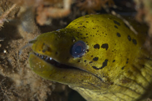 A fimbriated moray eel. Credit: elevy/Flickr, CC BY 2.0