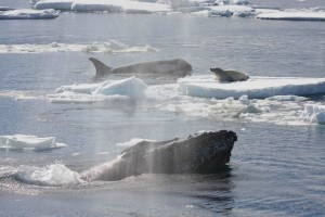 One killer whale from a pod hunting a crabeater seal on an ice floe when a pair of humpbacks (one in the foreground) charged in and drove off the killer whales. Credit: Robert L. Pitman