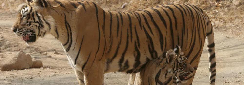 Machli, the Tigress Who Reigned Over Ranthambhore