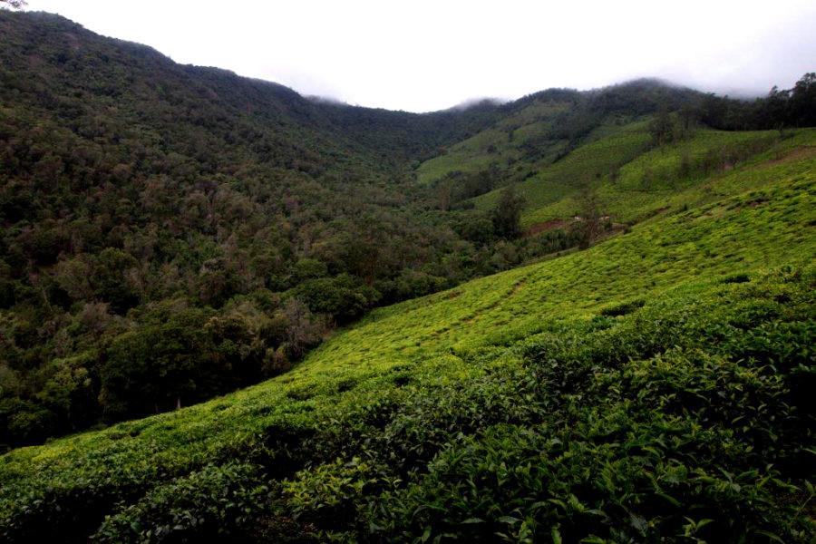 The forests on the extreme left consist mostly of exotic trees, those at the center are sholas and on the right are abandoned tea estates. Credit: Sibi Arasu