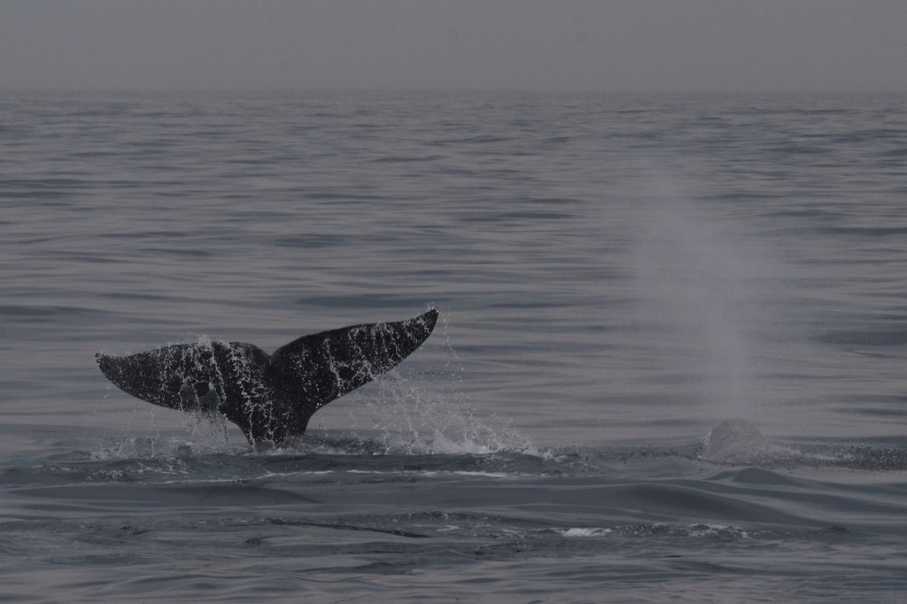 Grey whale. Credit: Tom Clifton/flickr/CC BY-NC 2.0