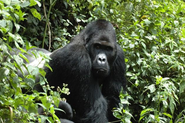 Eastern Gorilla Added to Endangered Species List
