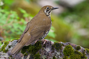 himalayan_forest_thrush_or_zoothera_salimalii