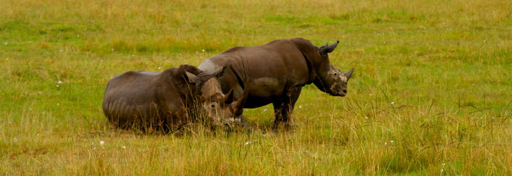 Rhino Horns: To Trade or Not to Trade, That Is the Question