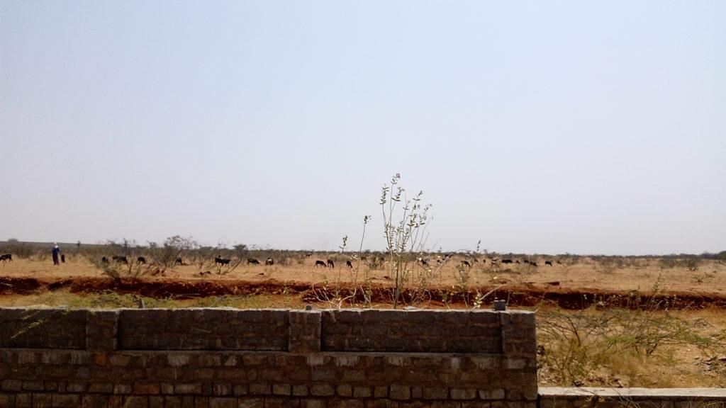 Shepherdess with livestock beyond not yet completed ISRO wall. Credit: Gaurav Mendiratta