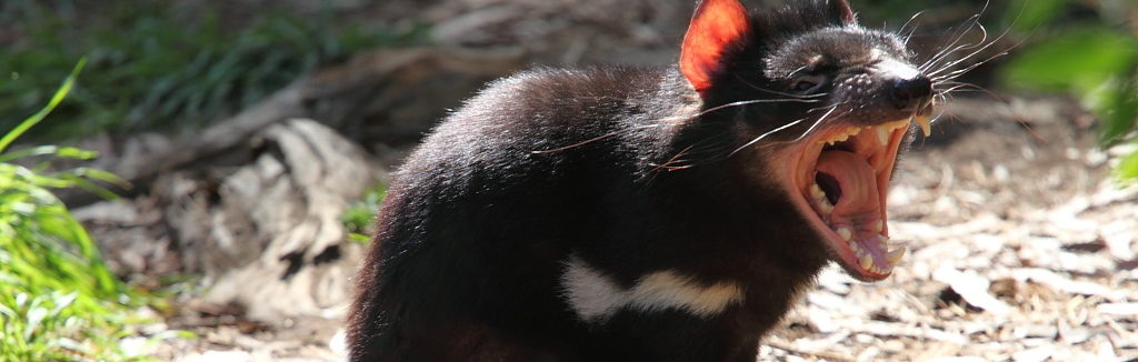 How the Ferocious Tasmanian Devils Are Beating a Deadly Infectious Cancer